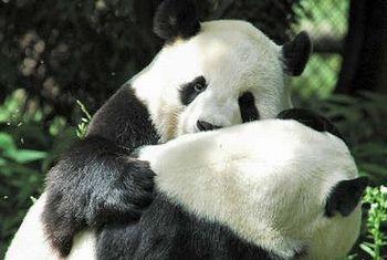 panda001.jpg
